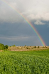 Rainbow over a wheat field in spring in Ukraine. Copy space. Vertical image.