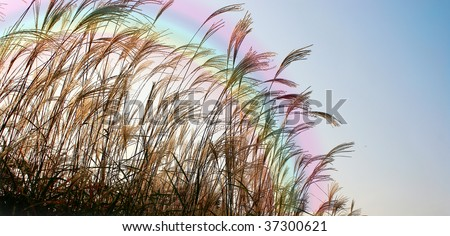 Rainbow over the tall grass at Sunset -  nice background and with copy space