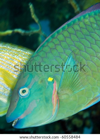 Rainbow Parrotfish (Scarus guacamaia) swimming on coral reef in Roatan Honduras
