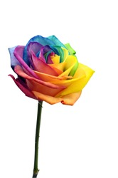 Rainbow rose flower, happy flower : colorful petals, isolated on white background by clipping path