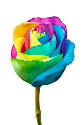 Rainbow rose isolated on a white background