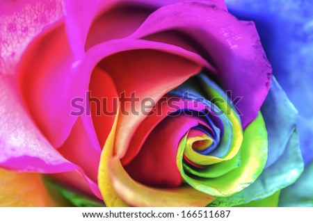 Stock Photo Rainbow Rose Macro