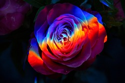 Rainbow roses on a black background