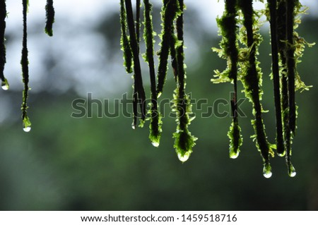 raindrops fall from the moss, this although small can drop water drop by drop to feed a river #1459518716
