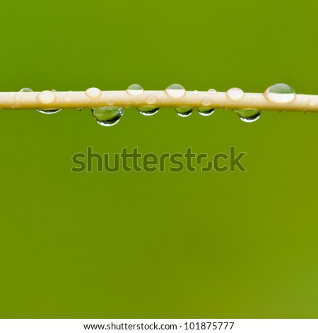 Raindrops hanging from a fisherman's rod flower stem.