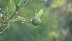 raindrops on a green lemon. close up of raindrops. closeup raindrops. lemon . fruit . tree . rain nature, wild nature, forest, woods, mountain, garden, park.