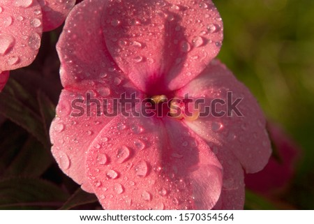 Raindrops on a pink phlox flower