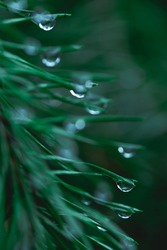 Raindrops on coniferous branches close-up. Soft focus, low key. Atmospheric natural photography. Tidewater green