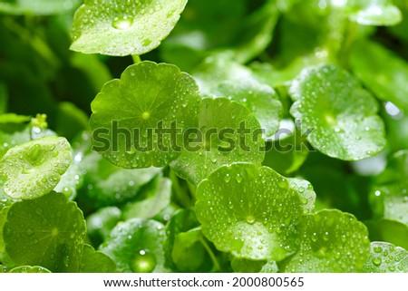 Raindrops on gotu kola leaves. Natural background Centella asiatica (gotu kola) with succulent fresh leaves, with shoot focus Zdjęcia stock ©
