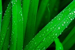 Raindrops on green long leaves