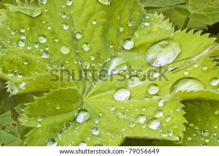 Raindrops on the leaves of the dear lady's mantle