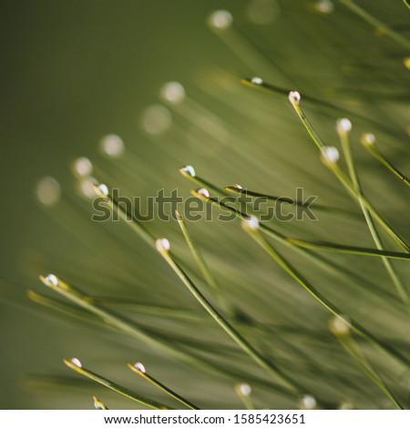 Raindrops on the pine needles ends, macro photo