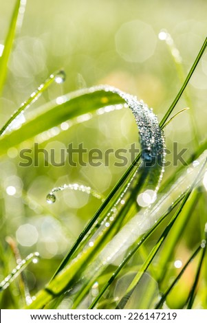 Raindrops or dewdrops glistening in the sunlight on a blade of fresh green grass in an ecological and nature background.