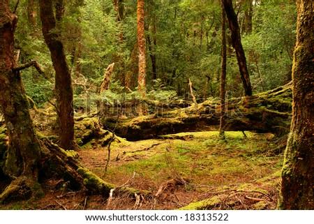 Rainforest near Cradle Mountain, Tasmania