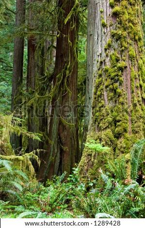 Rainforest on Olympic peninsula, Washington