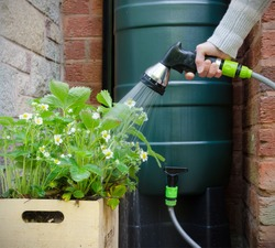 rainwater tank or water butt, woman using a hose connected to a rain collector to water strawberry plants in pot.