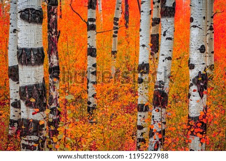 Rainy day in the aspen glades with fall color, Wasatch Mountains, Utah, USA.