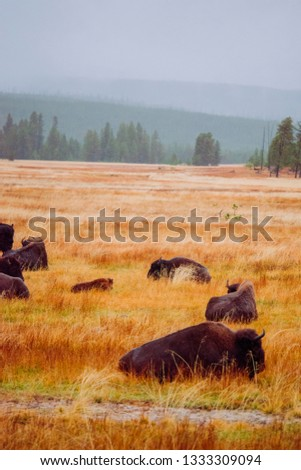 Rainy days, Yellowstone National Park, Bison