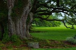 Rainy Louisiana morning under majestic oaks.