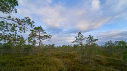 Raised bog, swamp vegetation. Musos tyrelis raised bog in Joniskis district municipality. Musos tyrelis raised bog is a protected nature territory – a nature reserve as well as Natura 2000 territory.