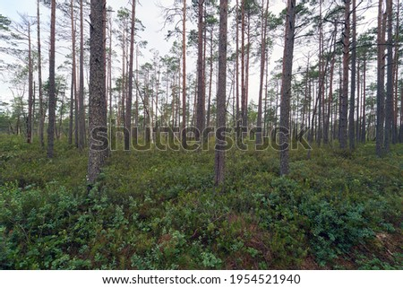 Raised bog, swamp vegetation. Musos tyrelis raised bog in Joniskis district municipality. Musos tyrelis raised bog is a protected nature territory – a nature reserve as well as Natura 2000 territory. Foto d'archivio ©