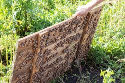 Raised wooden panel, under which living many snails. Snail farm.
