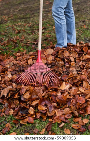 Rake leaves. Leaves. In the fall working in the garden