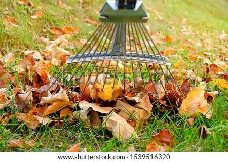 Rake next to pile of fallen autumn leaves on green lawn close-up. Raking autumn fallen leaves with a rake. Pile of autumn leaves with a rake on the green grass. Stock photo ©