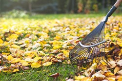 Rake with fallen leaves at autumn. Gardening during fall season. Cleaning lawn from leaves.