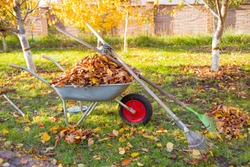 Raking fall leaves in garden. Wheelbarrow full of dried leaves. Autumn leaf cleaning. Pile of fall leaves with fan rake on lawn