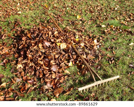 Raking fallen autumn leaves with old wooden rake