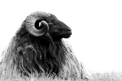 Ram black and white