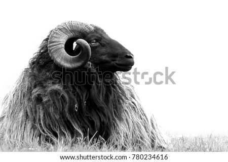 Ram black and white