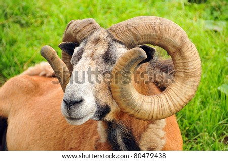 Ram Meanings And Symbolic Thoughts About The Ram The ...
