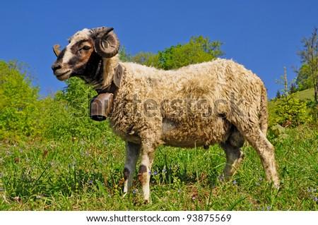 Ram on a summer pasture