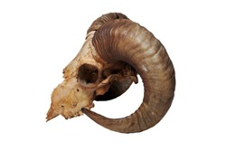 Ram skull isolated on the white background