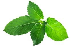 Rama tulsi leaves (Ocimum tenuiflorum foliage) isolated