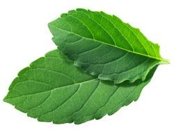 Rama tulsi leaves (Ocimum tenuiflorum foliage) isolated, top view