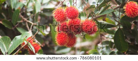 Rambutan, fruit from indonesia