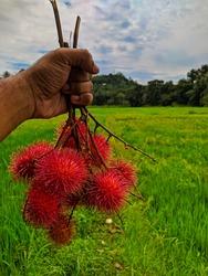 Rambutan fruit in Sri Lanka and beautiful paddy field
