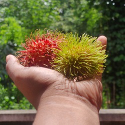 Rambutan in hand stock imageThe rambutan is a medium-sized tropical tree in the family Sapindaceae. The name also refers to the edible fruit produced by this tree. The rambutan is native to Southeast