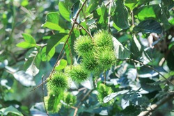 Rambutan planted in the rambutan garden, Fresh Fruit Rambutan Tree in Thailand.