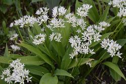 Ramson or wild leek, Allium ursinum, during flowering