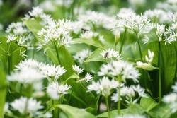 Ramson (wild leek) or wild garlic during flowering season, beautiful white flowers in nature, natural botanical outdoor background