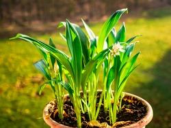 Ramsons (Allium ursinum). Known as Bear's Garlic, Wild Garlic, Wood Garlic - grows and blooms at home in a pot