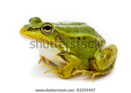 Rana esculenta. Green (European or water) frog on white background. - stock photo
