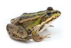 Rana ridibunda. Lake frog on white background