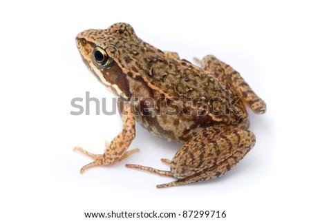 Rana temporaria. Small Grass frog on white background.