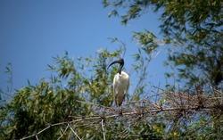 Ranganathittu bird sanctuary:Black-headed ibis (Threskiornis melanocephalus), also known as the Oriental white ibis, Indian white ibis, and black-necked ibis resting a dead bamboo tree on kaveri river