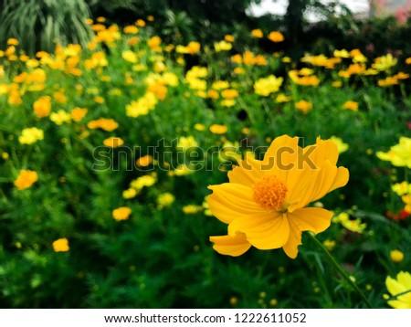 Range of Yellow cosmos or Sulfur cosmos (Cosmos sulphureus) flower.